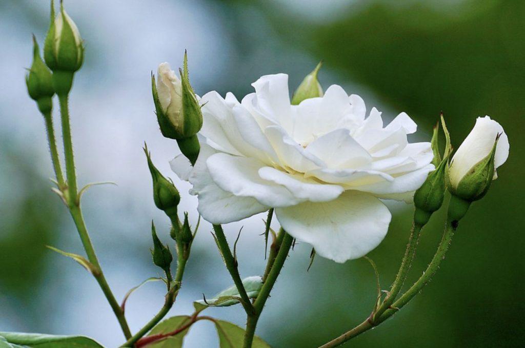 White roses symbolism